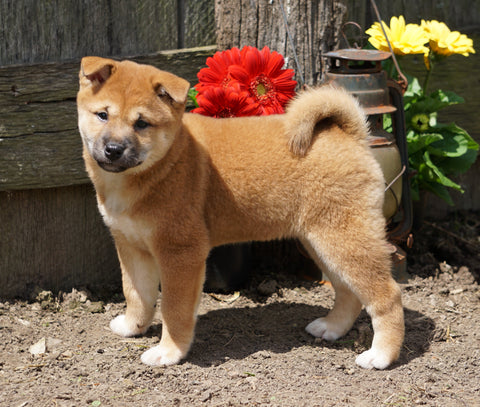 CKC Registered Shiba Inu For Sale Millersburg, OH Female- Mabel