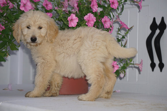 F2 Goldendoodle For Sale Fredericksburg OH Female Brooklyn