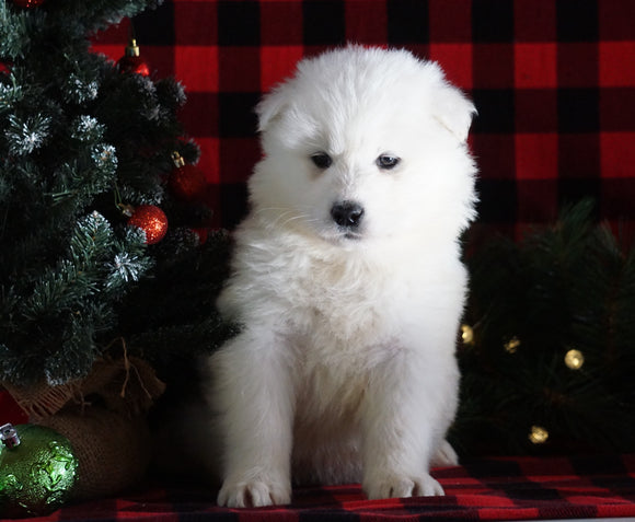 Samoyed Puppy For Sale Fredericksburg, OH Male- Yukon