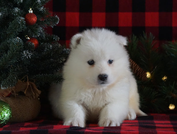 Samoyed Puppy For Sale Fredericksburg, OH Male- Frosty