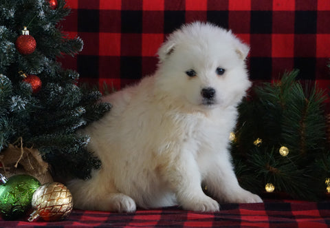 Samoyed Puppy For Sale Fredericksburg, OH Female- Crystal