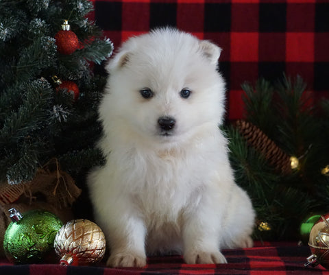 Samoyed Puppy For Sale Fredericksburg, OH Female- Buttons