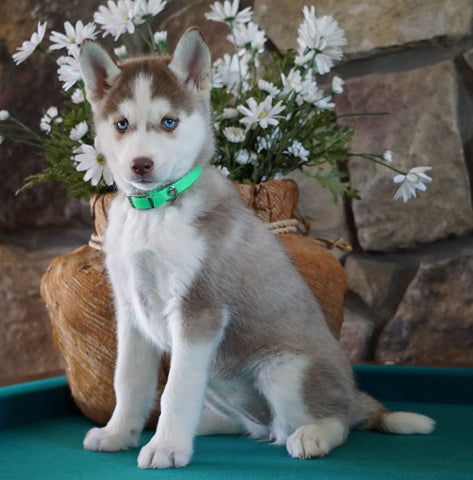 AKC Registered Siberian Husky For Sale Holmesville, OH Female- Aurora