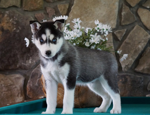 AKC Registered Siberian Husky For Sale Holmesville, OH Male- Balto