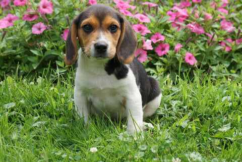 Beagle Puppy For Sale Millersburg OH Male Jackson