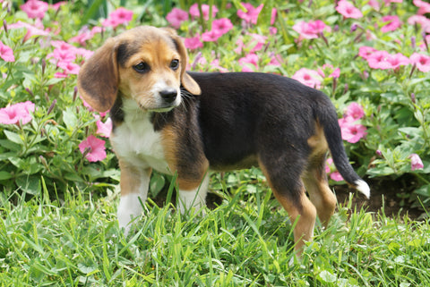 Beagle Puppy For Sale Millersburg OH Female Mindy