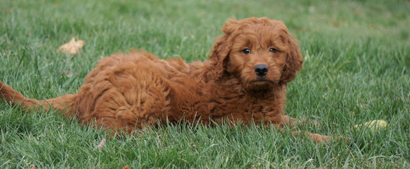 Goldendoodle (Standard) For Sale Danville, OH Female- Sophie