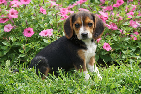 Beagle Puppy For Sale Millersburg OH Female Molly