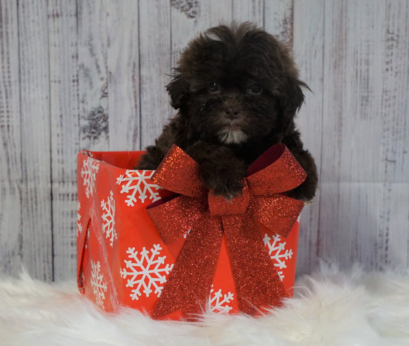 Toy Poodle For Sale Warsaw, OH Female- Hazel