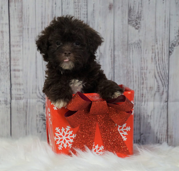 Toy Poodle For Sale Warsaw, OH Male- Winston