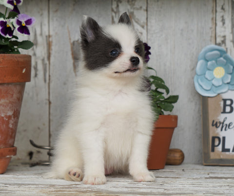 Pomsky- Shiba Mix Puppy For Sale Millersburg, OH Female- Cheryl