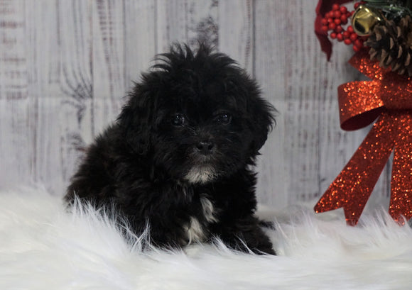 Toy Poodle For Sale Warsaw, OH Male- Milo