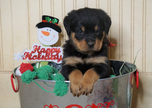 AKC Registered Rottweiler For Sale Fredericksburg, OH Male- Winter