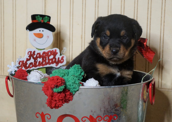 AKC Registered Rottweiler For Sale Fredericksburg, OH Male- Happy