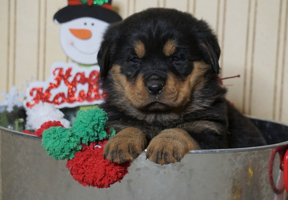 AKC Registered Rottweiler For Sale Fredericksburg, OH Female- Bell