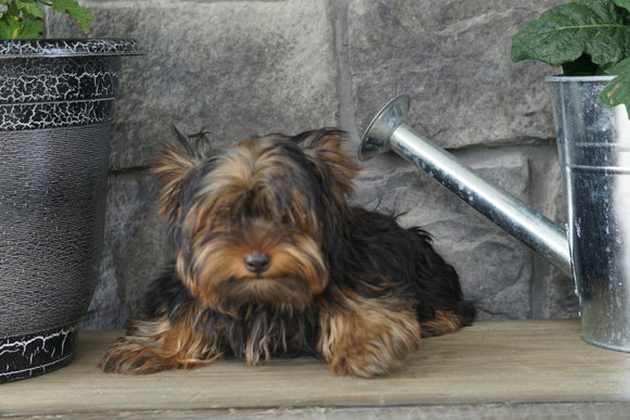 Yorkshire Terrier For Sale Wooster OH Female  Gabriel