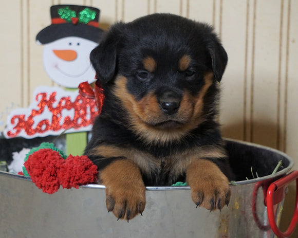 AKC Registered Rottweiler For Sale Fredericksburg, OH Female-Twinkle