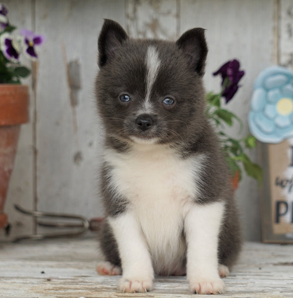 Pomsky- Shiba Inu Mix Puppy For Sale Millersburg, OH Female- Tootsy
