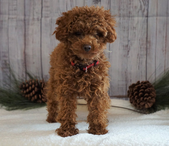 AKC Registered Toy Poodle For Sale Wooster, OH Male- Cuddles
