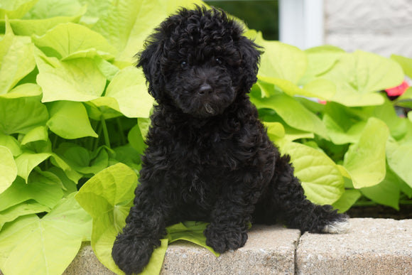 Toy Poodle For Sale Sugarcreek OH Male Mickey