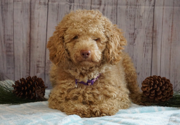 AKC Registered Miniature Poodle For Sale Wooster, OH Male- Jasper
