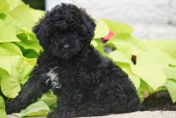 Toy Poodle For Sale Sugarcreek OH Female Minnie