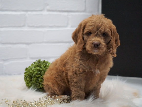 Cockapoo For Sale Dundee, OH Male- Cory