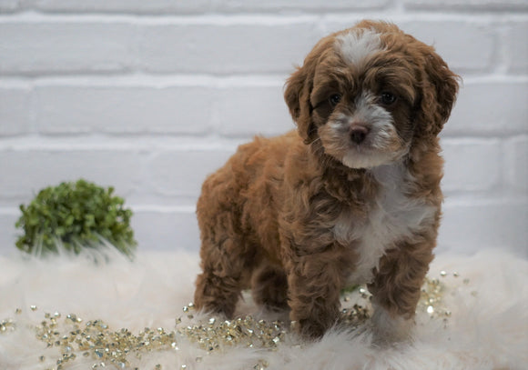 Cockapoo For Sale Dundee, OH Female- Anna Bell
