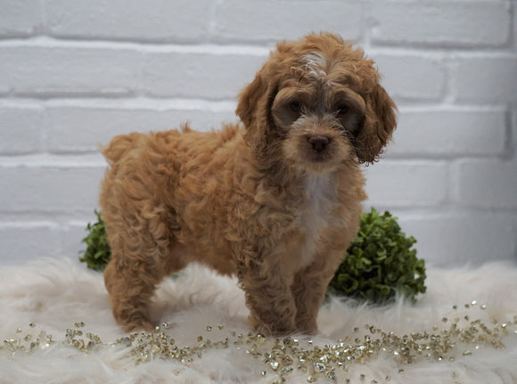 Cockapoo For Sale Dundee, OH Female- Peggy