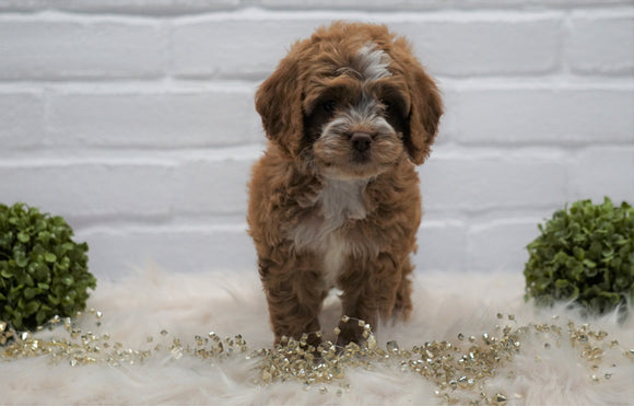 Cockapoo For Sale Dundee, OH Female- Pippa