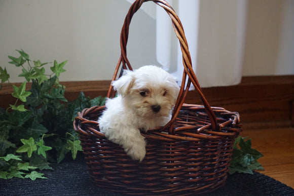 ACA Registered Maltese For Sale Millersburg, OH Female Bella