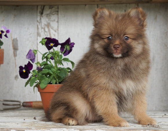 ACA Registered Pomeranian For Sale Millersburg, OH Male- Cinnamon