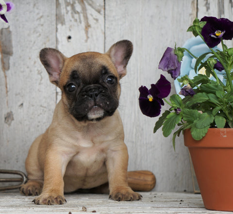 AKC Registered French Bulldog For Sale Millersburg, OH Female- Dora