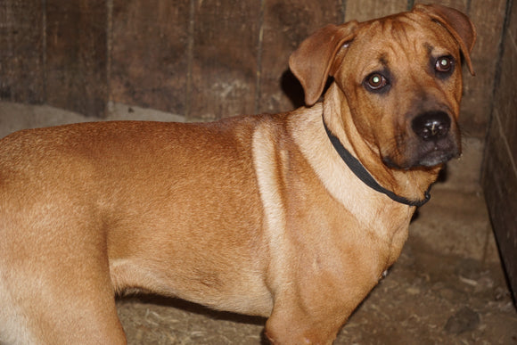Rottweiler-Boerboel Mix For Sale Fredericksburg OH Male Rex