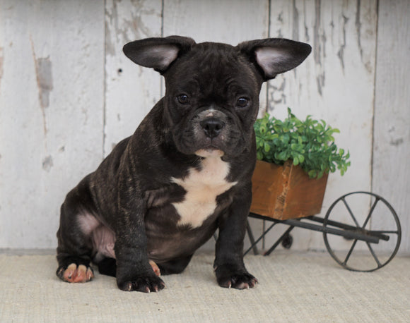 Frenchton For Sale Millersburg, OH Male- Tucker
