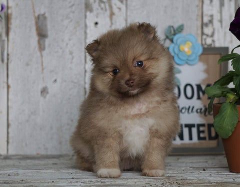 ACA Registered Pomeranian For Sale Millersburg, OH Female- Lorene