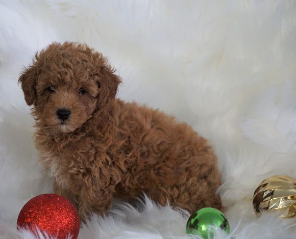 ACA Registered Toy Poodle For Sale Millersburg, OH Male- Titus