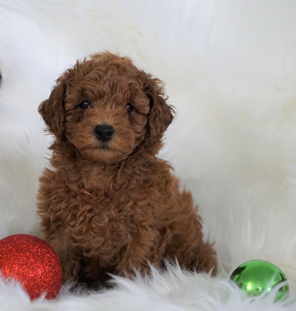 ACA Registered Toy Poodle For Sale Millersburg, OH Male- Timmy