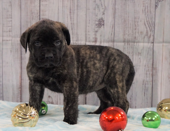 AKC Registered English Mastiff For Sale Fredericksburg, OH Female- Dixie *Champion Bloodline*
