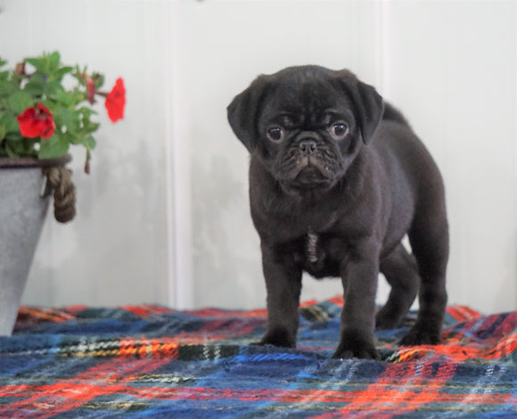 Pug For Sale Millersburg, OH Male Bingo