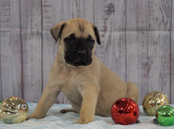 AKC Registered English Mastiff For Sale Fredericksburg, OH Female- Victoria *Champion Bloodline*