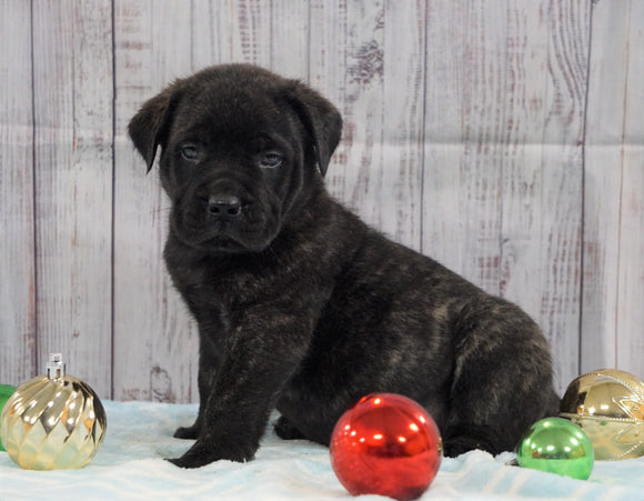AKC Registered English Mastiff For Sale Fredericksburg, OH Male- Captain *Champion Bloodline*