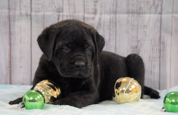 AKC Registered English Mastiff For Sale Fredericksburg, OH Male- Champ *Champion Bloodline*