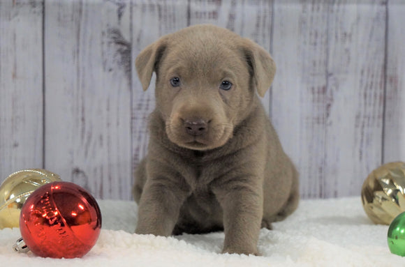 ACA Registered Silver Labrador Retriever For Sale Fredericksburg, OH Female- Sabrina
