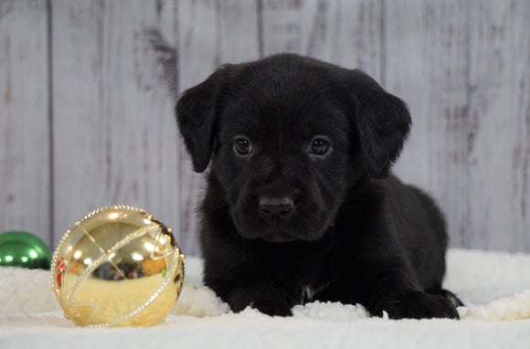 ACA Registered Charcoal Labrador Retriever For Sale Fredericksburg, OH Female- Misty