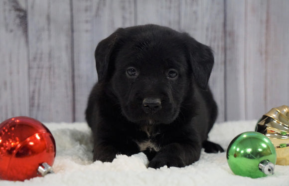 ACA Registered Charcoal Labrador Retriever For Sale Fredericksburg, OH Female- Layla