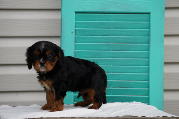 AKC Registered Cavalier King Charles Spaniel For Sale Holmesville OH Male-Leo