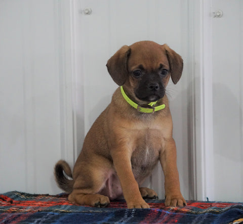 Puggle For Sale Millersburg, OH Female- Stacy