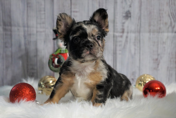 Registered French Bulldog For Sale Fredericksburg, OH Male- Tyson