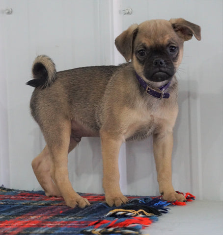 Puggle For Sale Millersburg, OH Male- Charlie